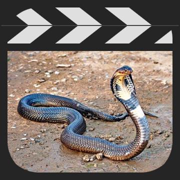 二次元BUG高级动画教程之动物篇(眼镜蛇篇)
